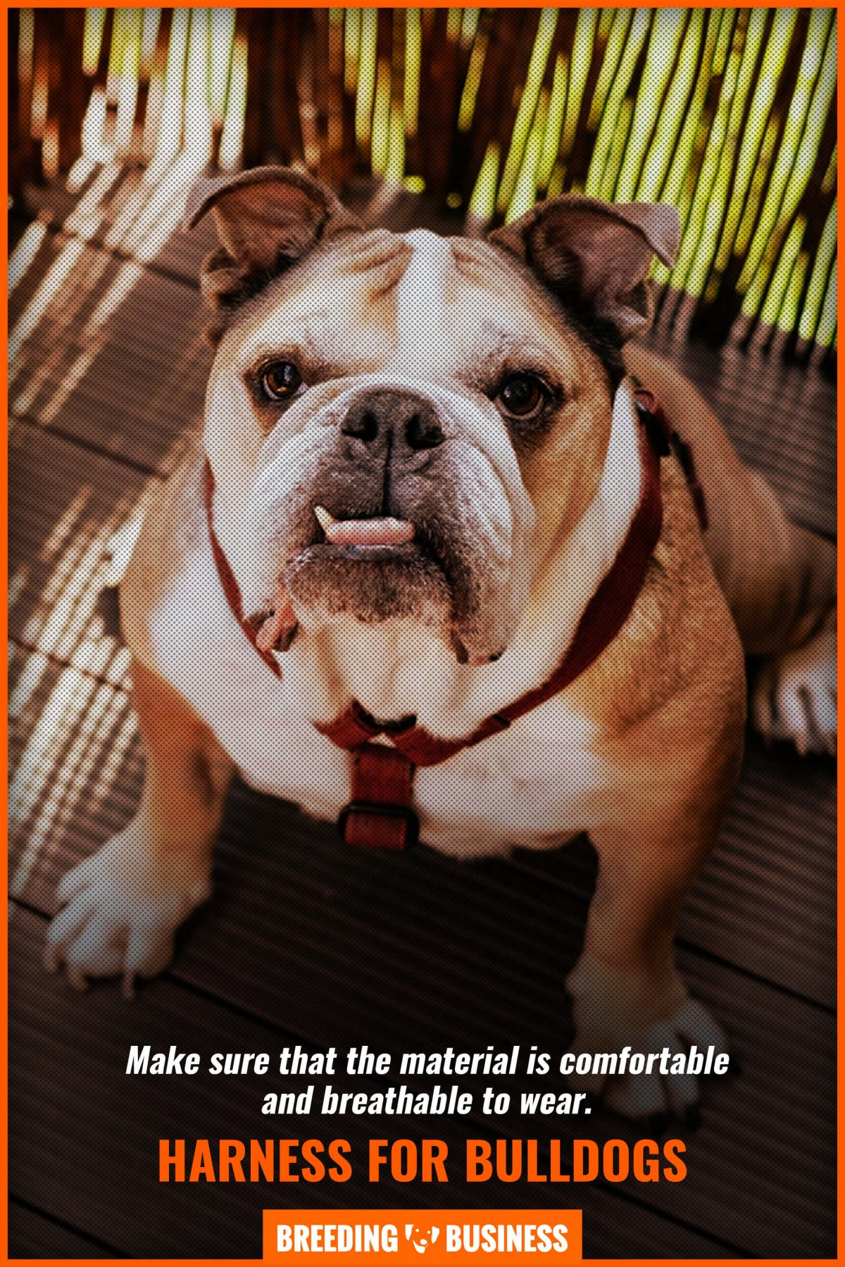 harness for bulldogs