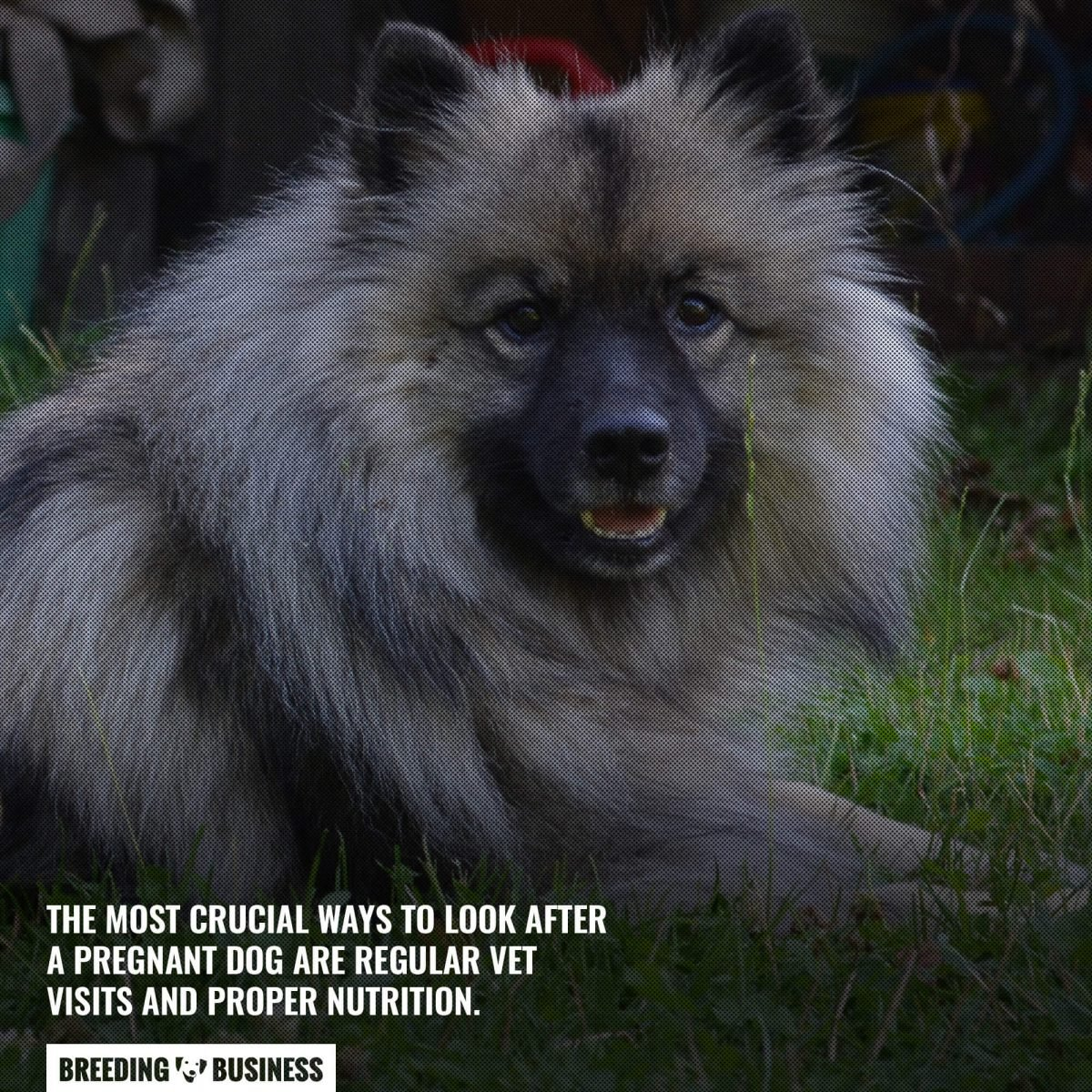 pregnant keeshond mothers