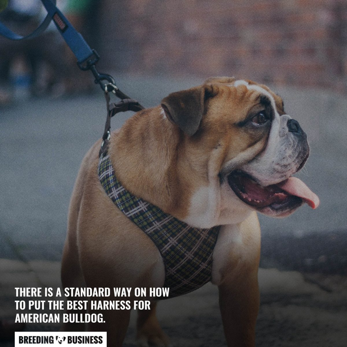 putting a harness on a bulldog