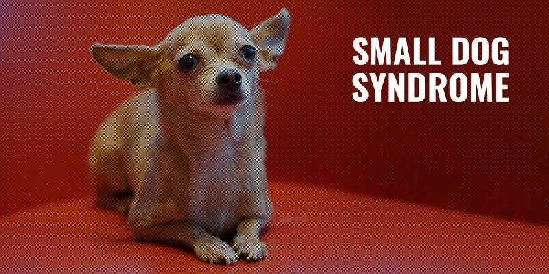 Small Dog Syndrome – Signs, Prevention, Treatment & FAQ