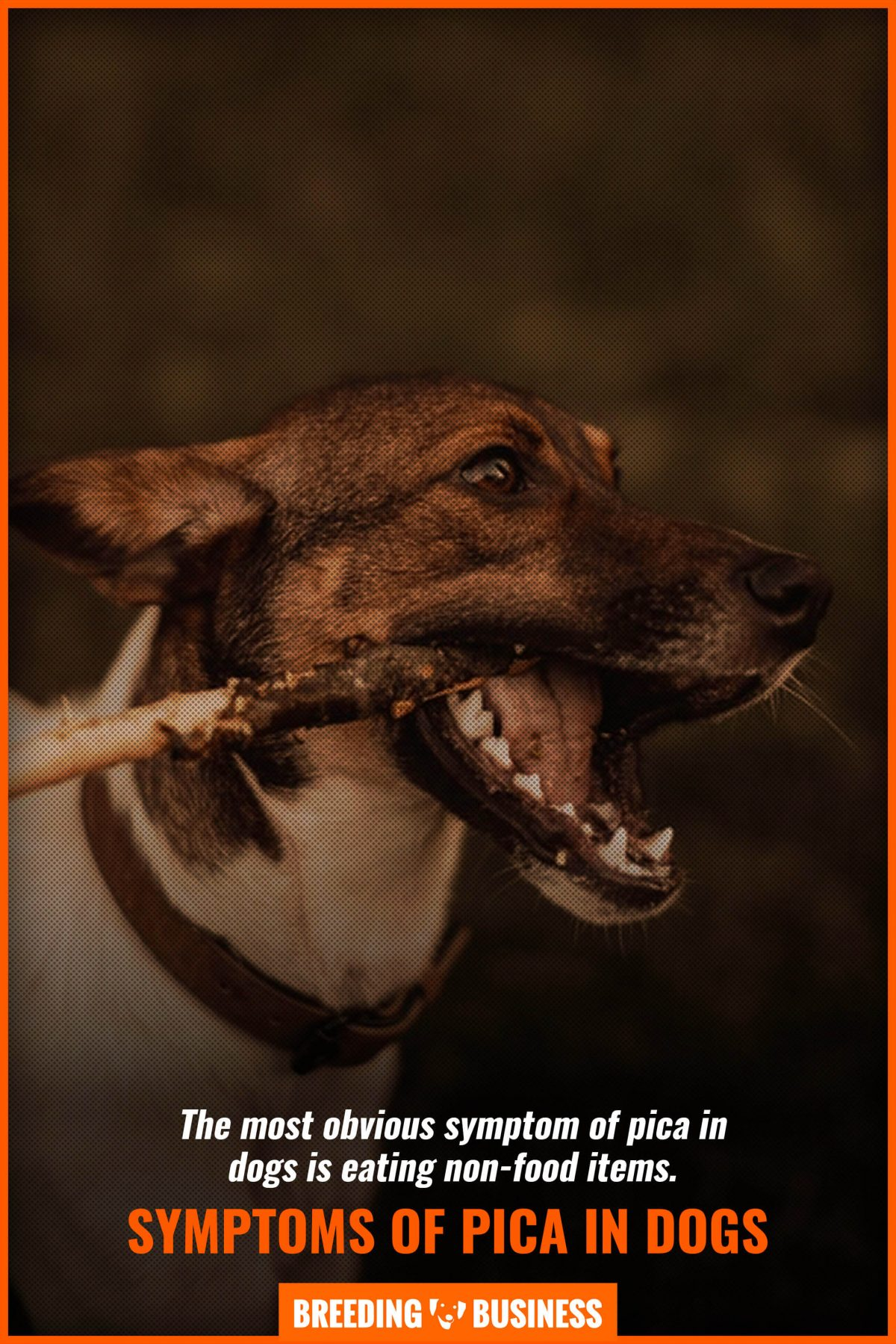 symptoms of pica in dogs