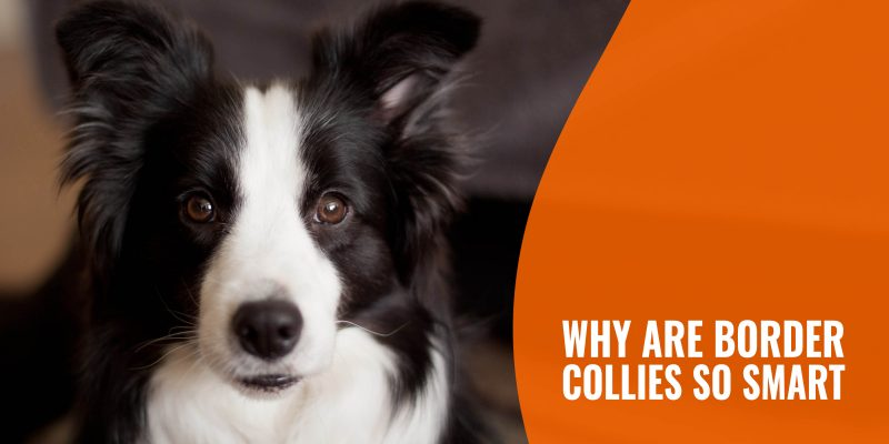 why are border collies so smart