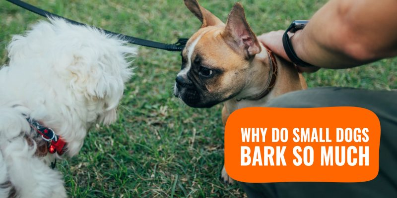Why Do Small Dogs Bark So Much – All You Need To Know About Yappy Dog Breeds!