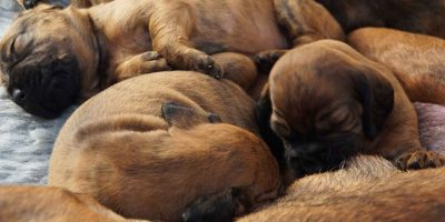 How To Care For Newborn Puppies After Delivery?