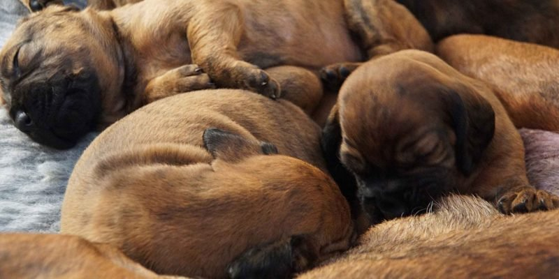 Care Puppies After Delivery