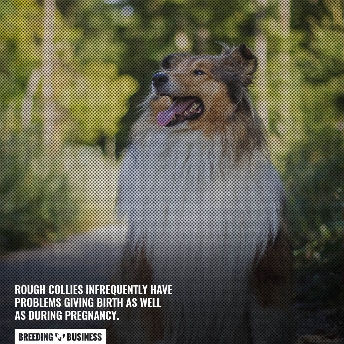 birthing issues in rough collies