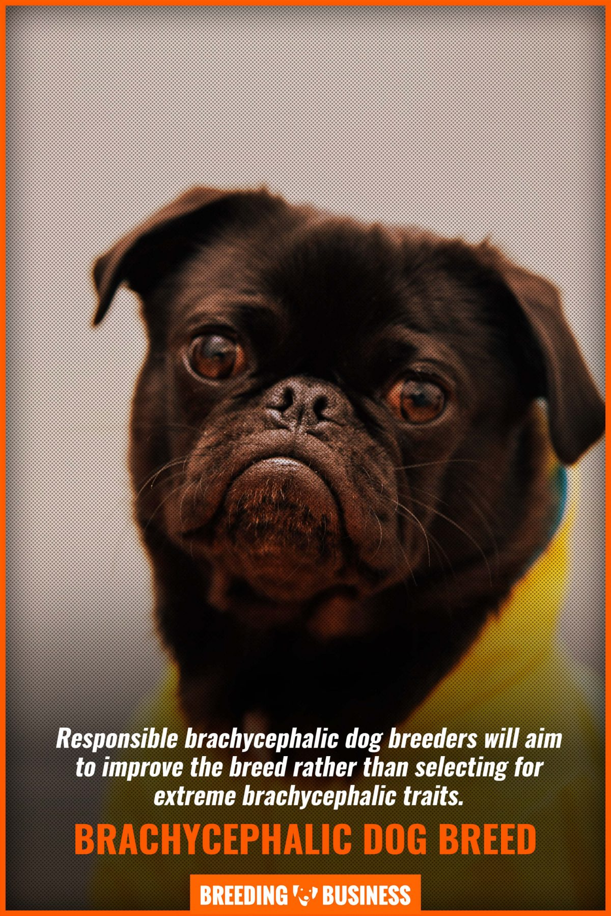 brachycephalic dog breed