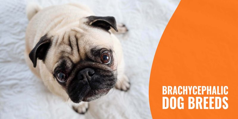 Brachycephalic Dog Breeds – Flat-Faced Breed List, Risks, BOAS & FAQs
