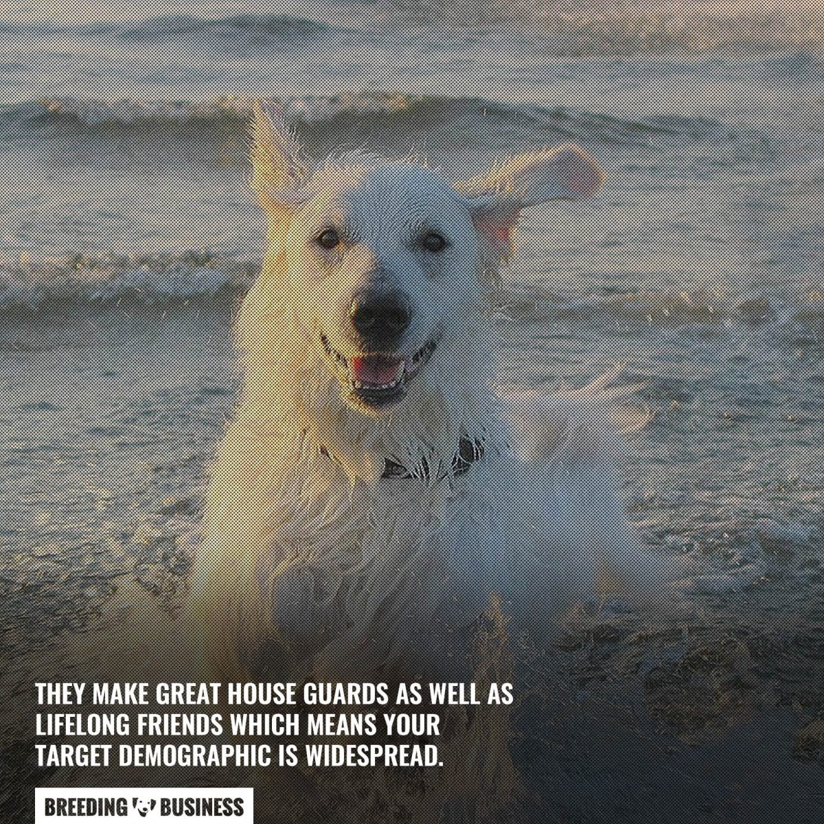 breeding kuvasz dogs