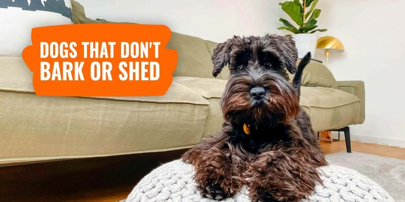 15 Dogs That Don't Bark or Shed – Perfect for Apartment Life!