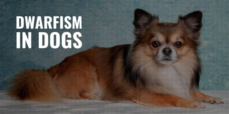 Dwarfism in Dogs – Pituitary Bone Deformity in Dogs (Causes, Symptoms, Treatment)
