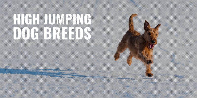15 High Jumping Dog Breeds