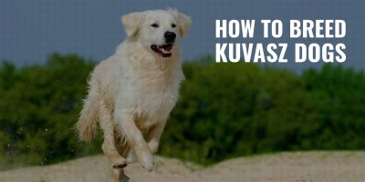 How To Breed Kuvasz Dogs