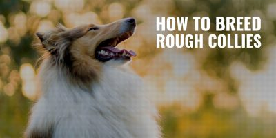 How To Breed Rough Collies