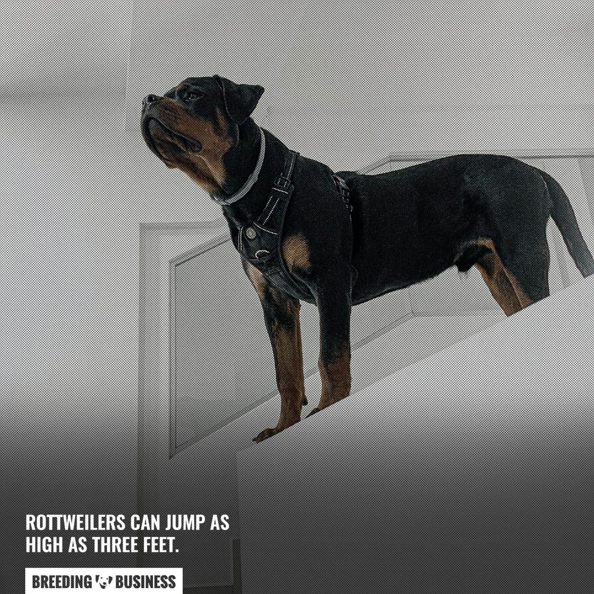jumping rottweilers