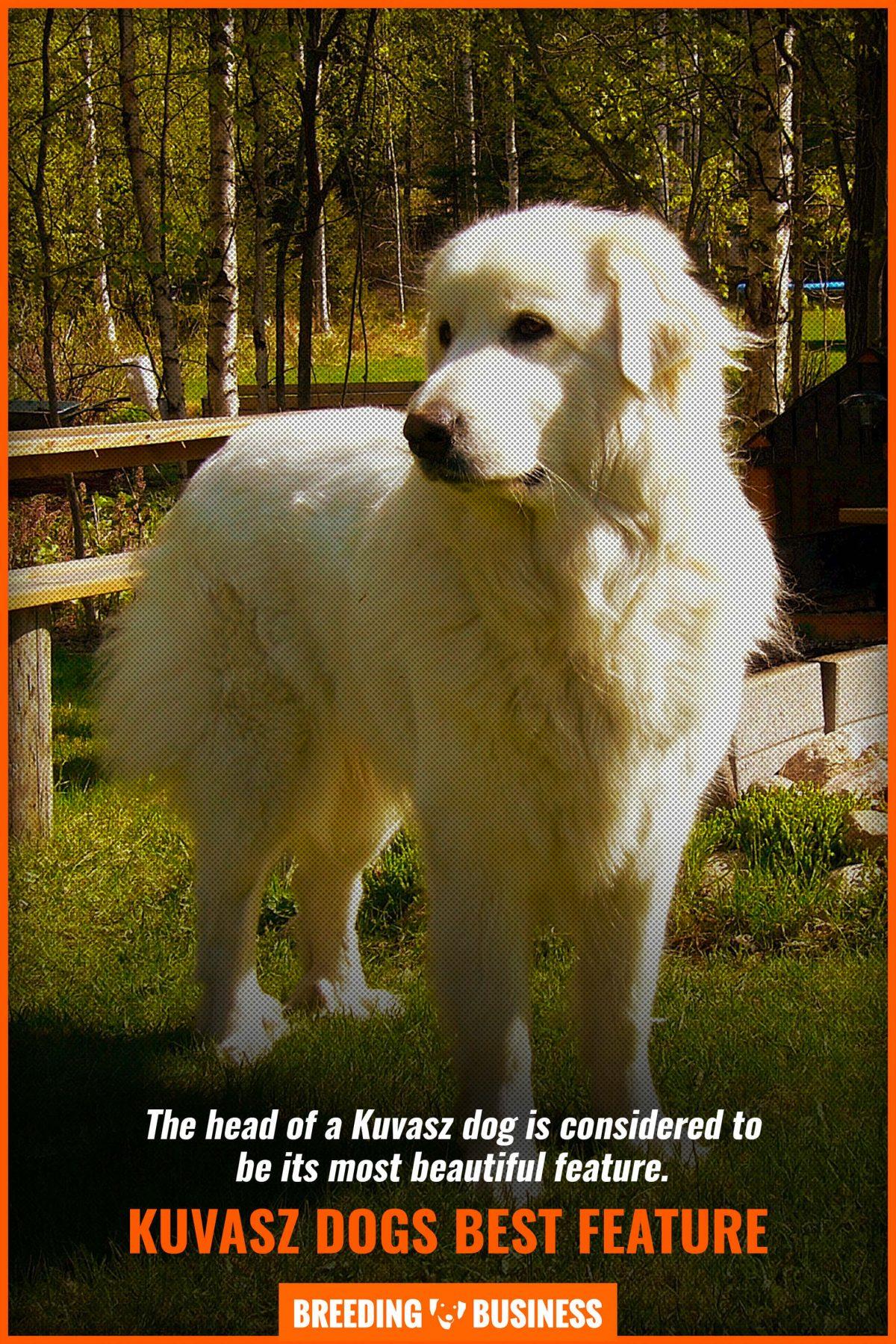 kuvasz dogs best feature