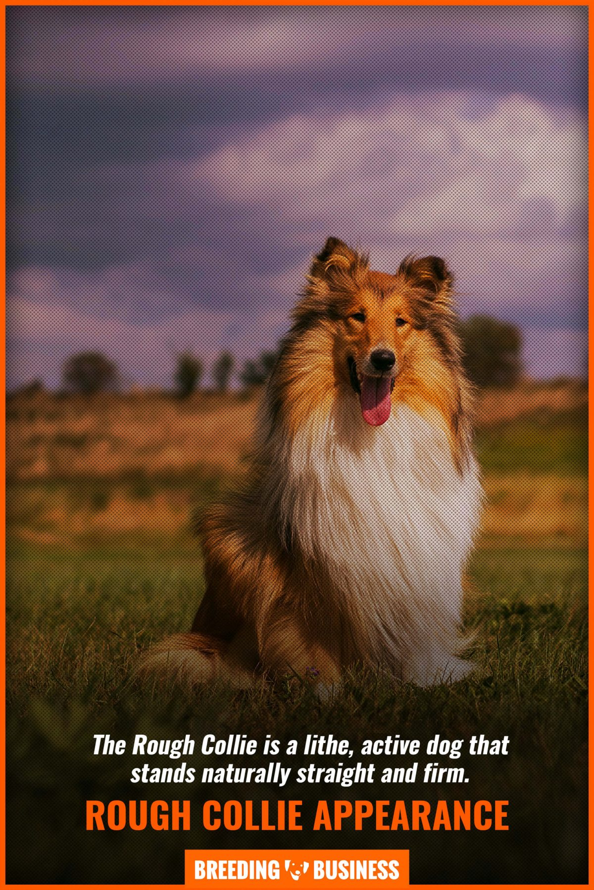 rough collie appearance