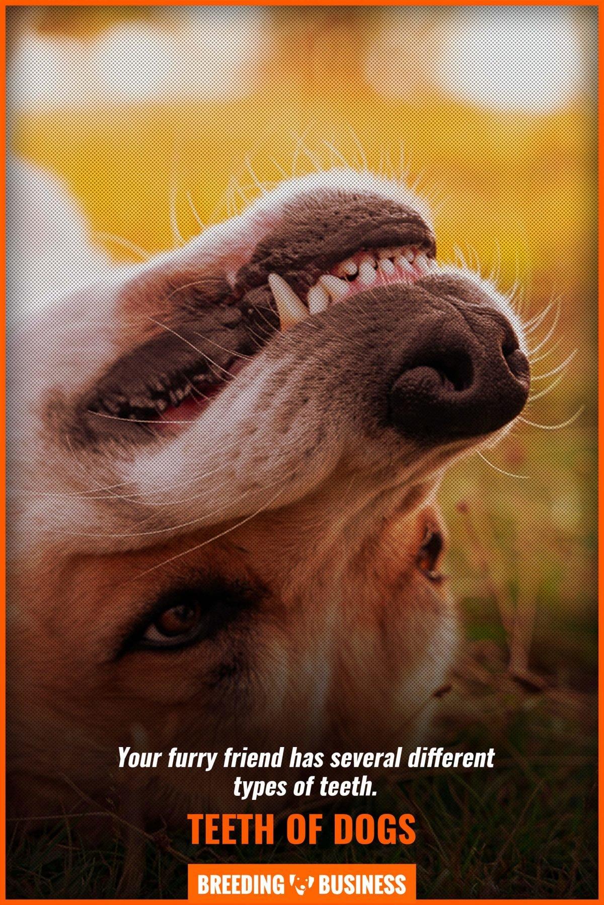teeth of dogs