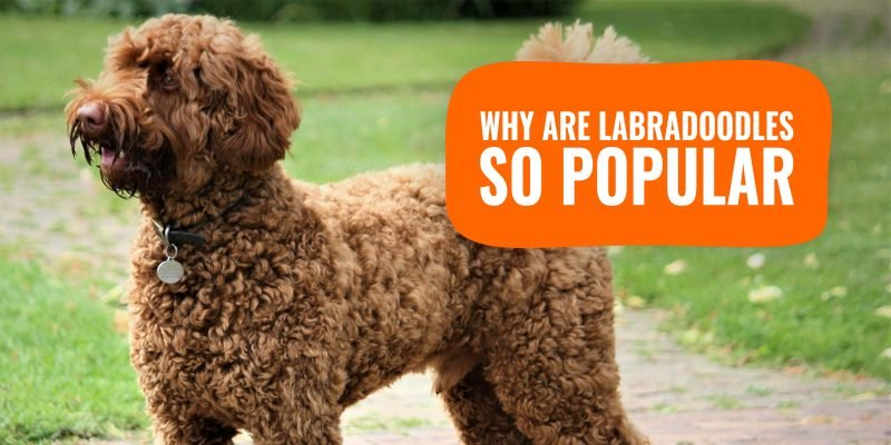 Why Are Labradoodles So Popular?