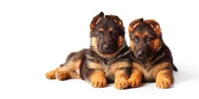 Top 7 Best Food for German Shepherd Puppies
