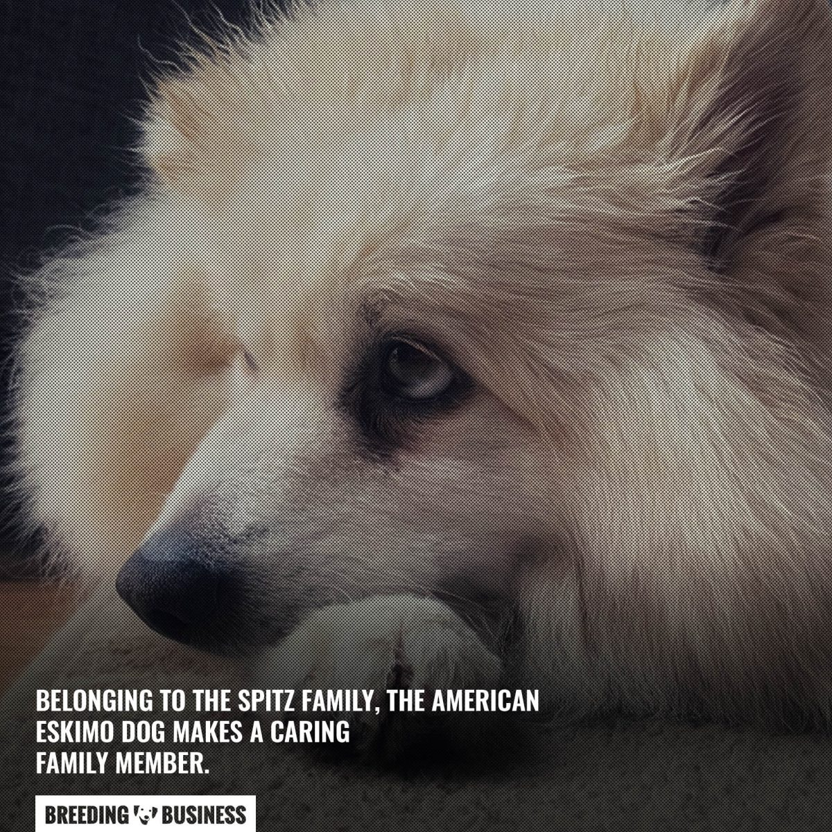 american eskimo dog for apartments
