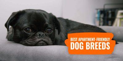 20 Best Apartment-Friendly Dog Breeds