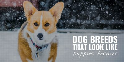 20 Dog Breeds That Look Like Puppies Forever