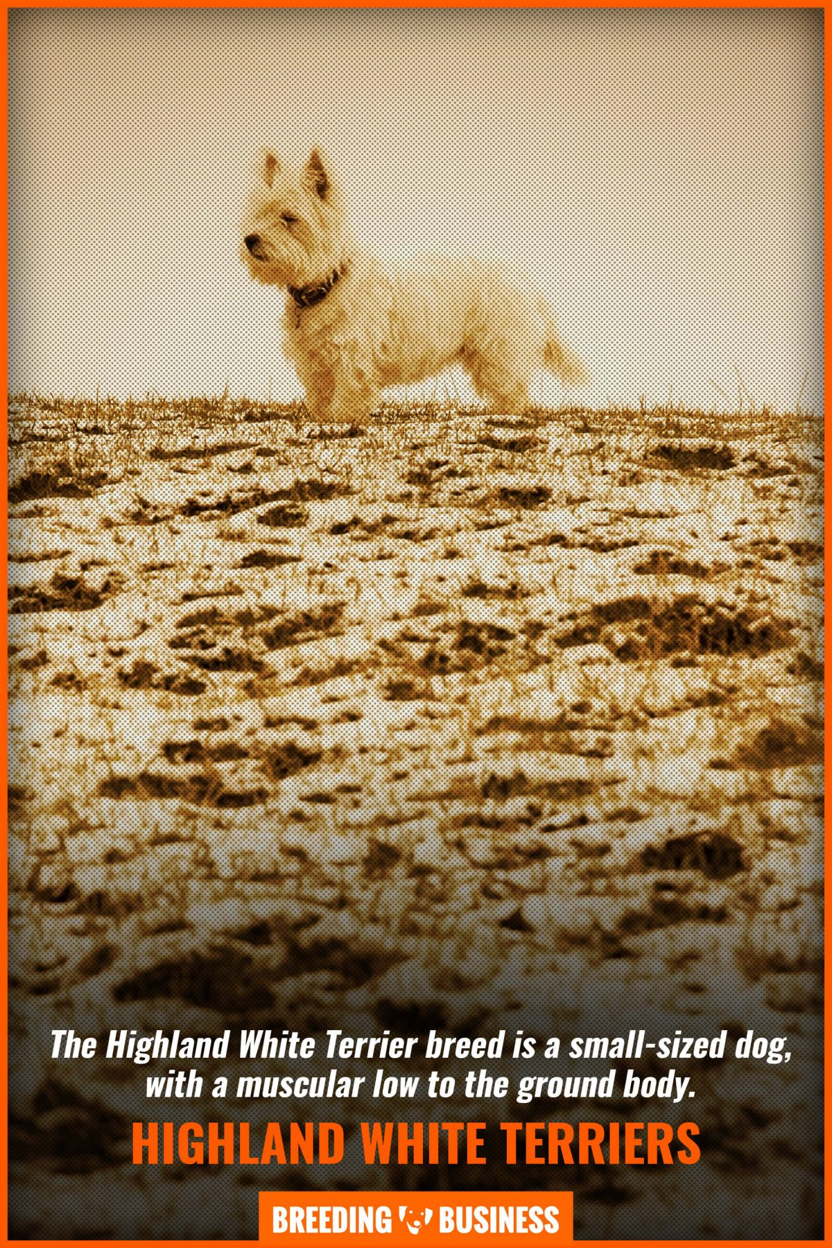 highland white terriers
