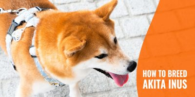 How To Breed Akita Inus