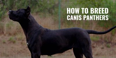 How To Breed Canis Panthers
