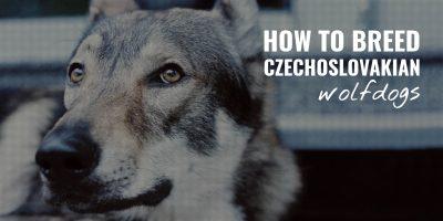 How To Breed Czechoslovakian Wolfdogs