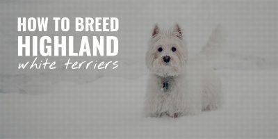 How To Breed Highland White Terriers