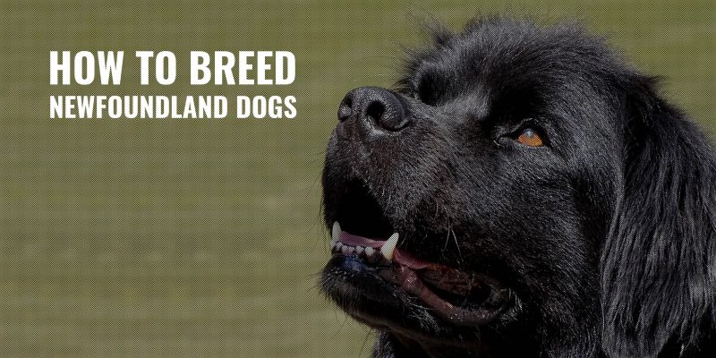 How To Breed Newfoundland Dogs