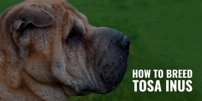 How To Breed Tosa Inus