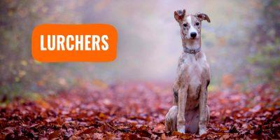 Lurchers – Definition, History, Characteristics, & FAQ