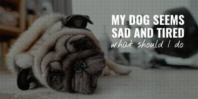 My Dog Seems Sad and Tired – What Should I Do?