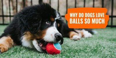 Why Do Dogs Love Balls So Much