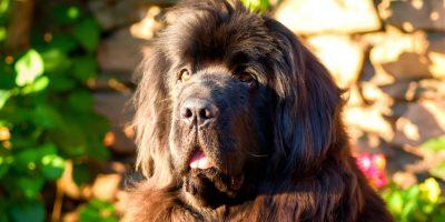 10 Best Dog Food for Newfoundlands