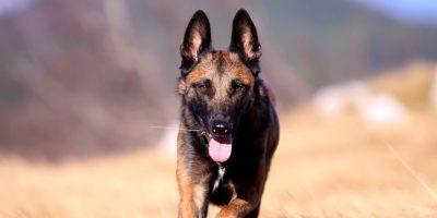 German Shepherd-Like Dogs