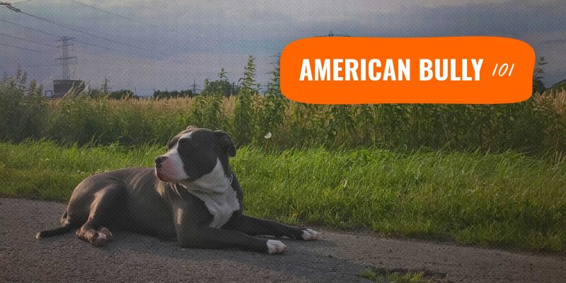 the american bully breed