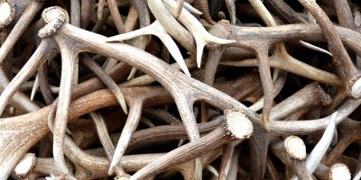 Antler Dog Chews: Safe, Healthy & Everlasting Chews For Dogs!