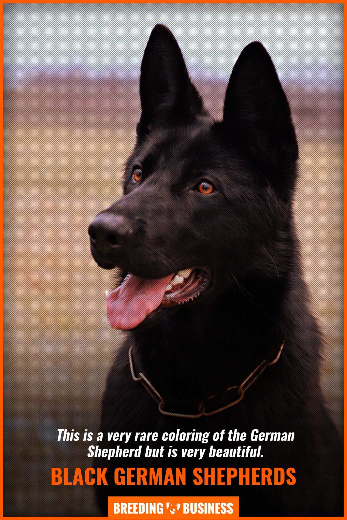 black breed german shepherds