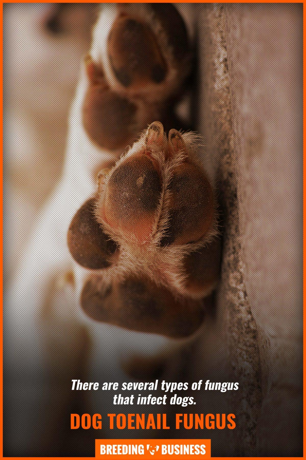 dog toenail fungus