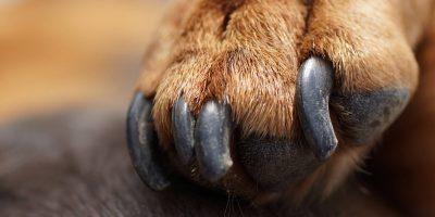 Dog Toenail Fungus – Causes, Treatment, Prevention, Reviews & FAQs