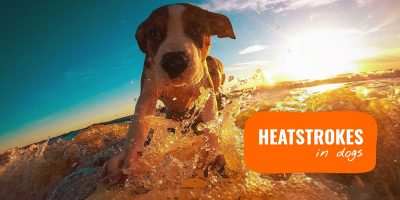 Heat Stroke In Dogs (+ Dehydration & Summer Heatwave)