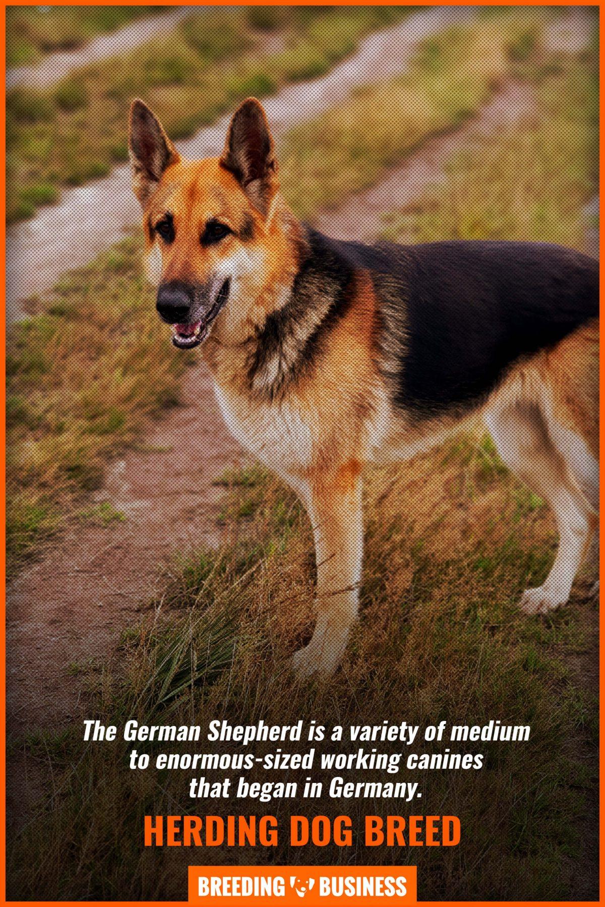 herding-dog-breed