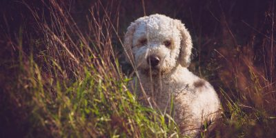 Things to know before breeding a lagotto romagnolos.