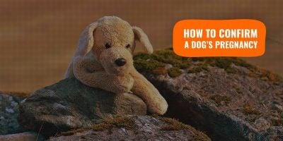 Methods To Confirm a Dog's Pregnancy & Pseudopregnancy