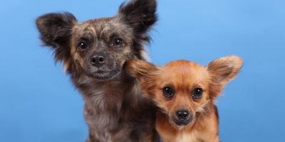 Find out everything you need to know about the difference of intellect between big dogs and small dogs.