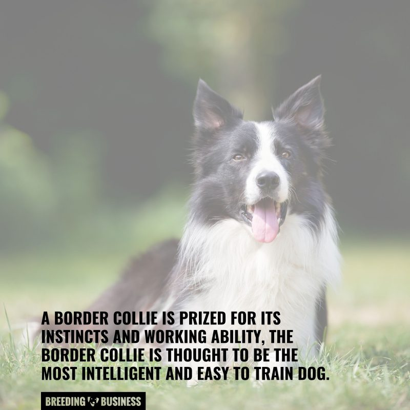 the most intelligent dog breed